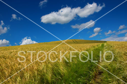 Footpath through a wheat field under a blue sky