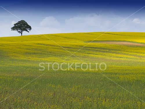 Single tree on the skyline in a field of yellow rapeseed