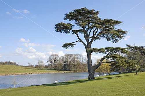 Cedar of Lebanon beside a lake