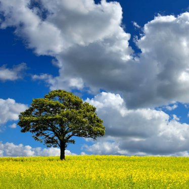 Single Tree in a field of Rapeseed